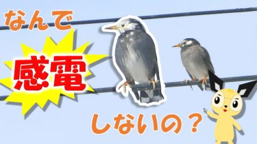 鳥が電線で感電しないのはなぜ?